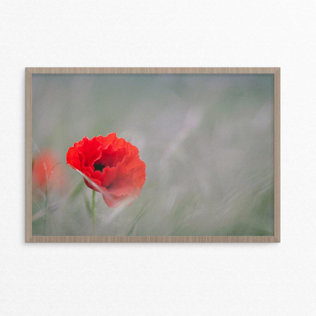 Plakat, blomst, valmue
