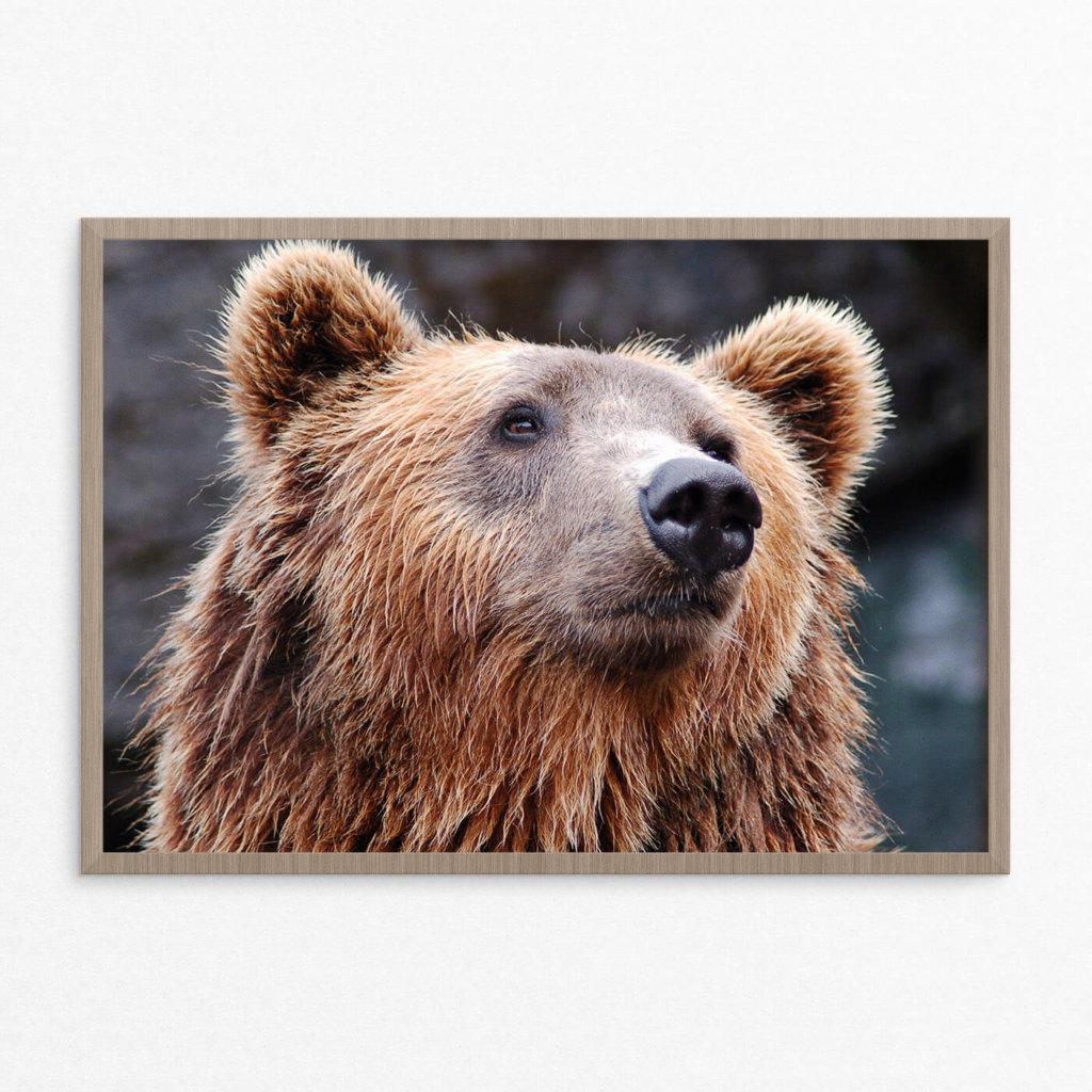 Plakat, dyr, brun bjørn
