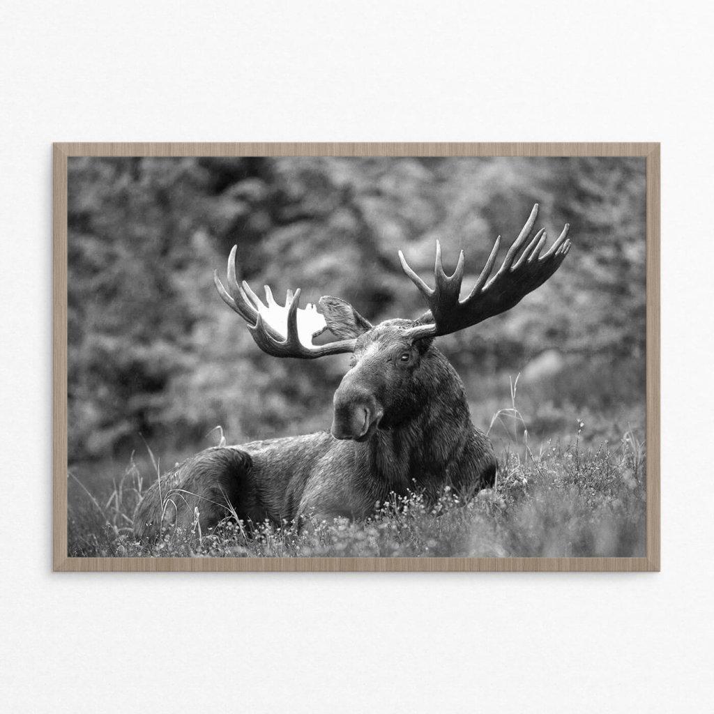Plakat, dyr, elg