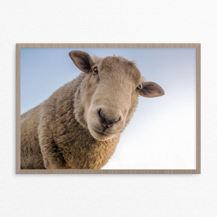 Plakat, dyr, får