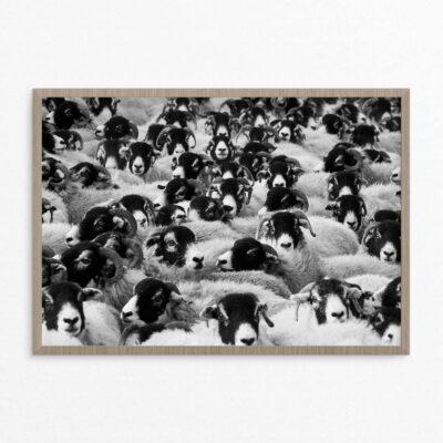 Plakat, dyr, fåreflok