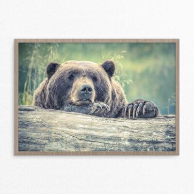 Plakat, dyr, grizzly