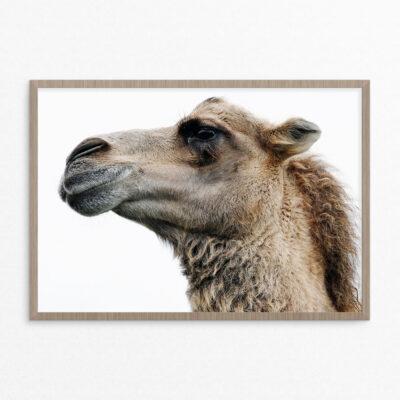 Plakat, dyr, kamel
