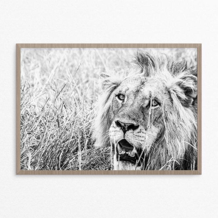 Plakat, dyr, løve