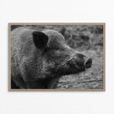Plakat, dyr, vildsvin