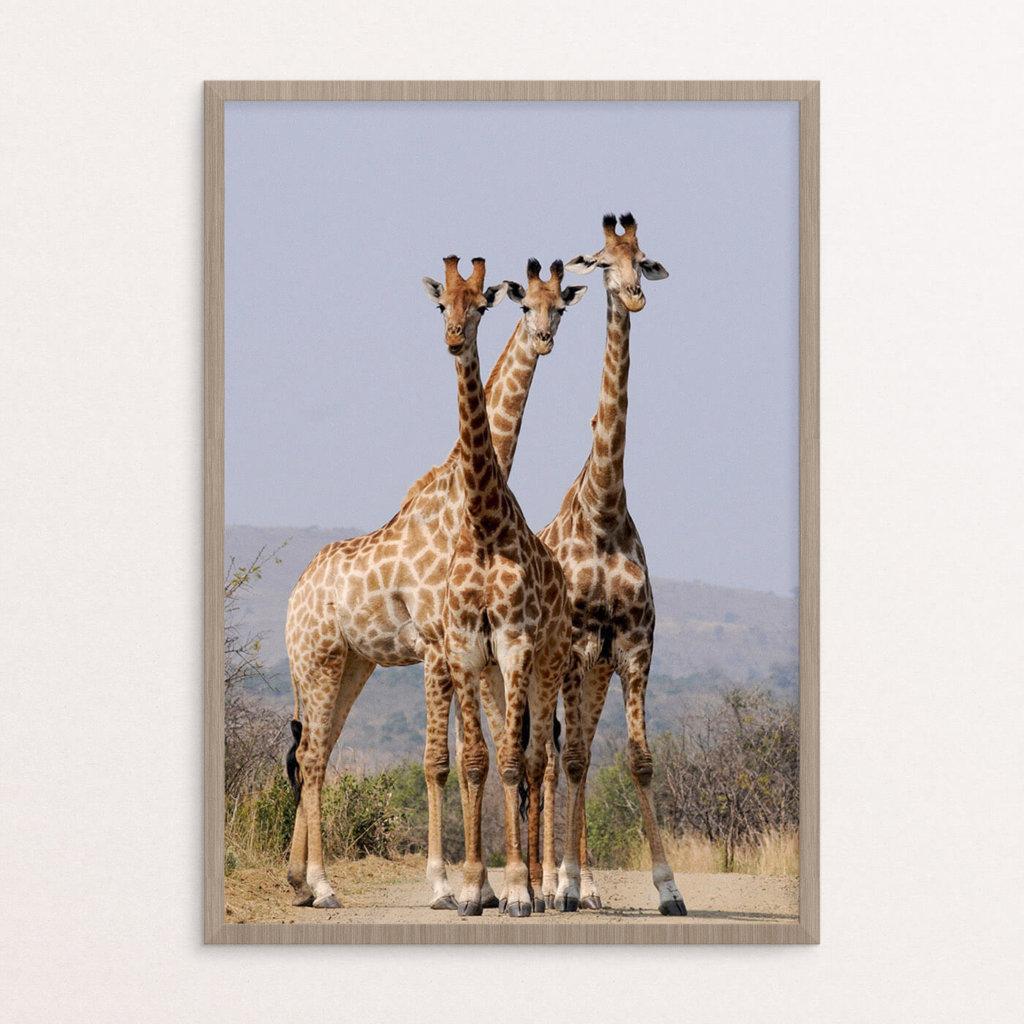 plakat, dyr, giraffer