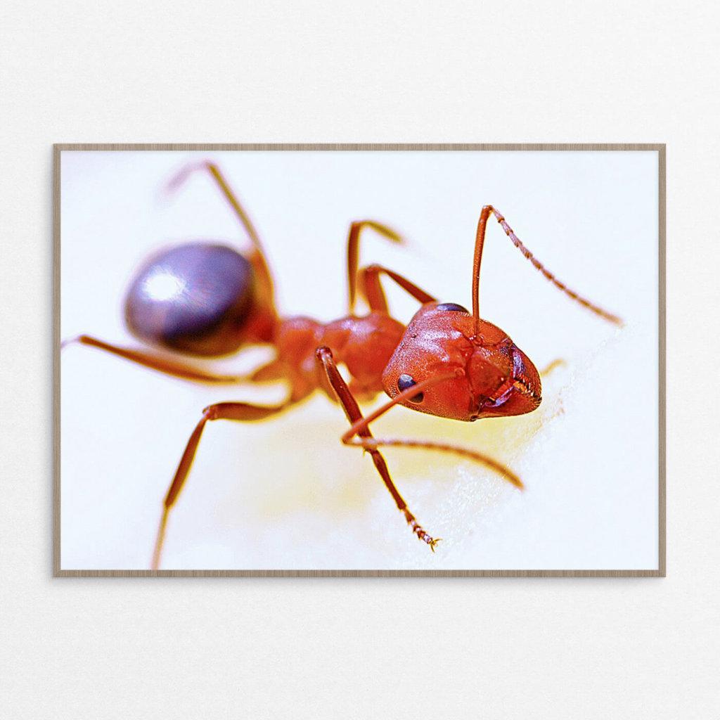 billig plakat, dyr, insekt, myre
