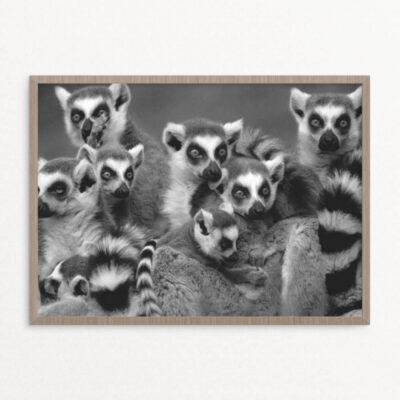 plakat, dyr, lemurer