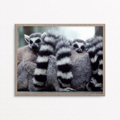 plakat, dyr lemurer