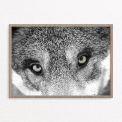 billig plakat, dyr, ulv, øjne